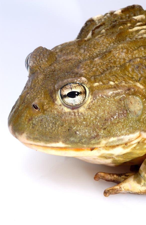 Bullfrog. African Bullfrog on white background stock photography