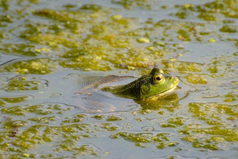 bullfrog zdjęcia stock