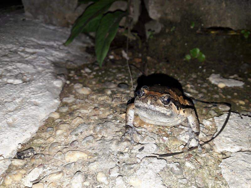 bullfrog imagenes de archivo
