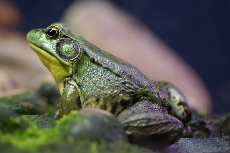 Bullfrog royalty free stock photos