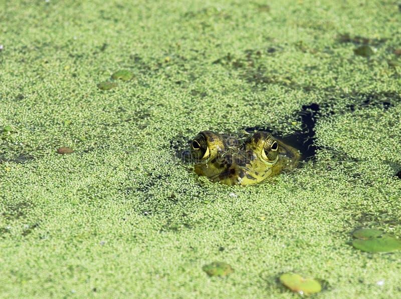 bullfrog brazos κάμψεων στοκ φωτογραφίες με δικαίωμα ελεύθερης χρήσης