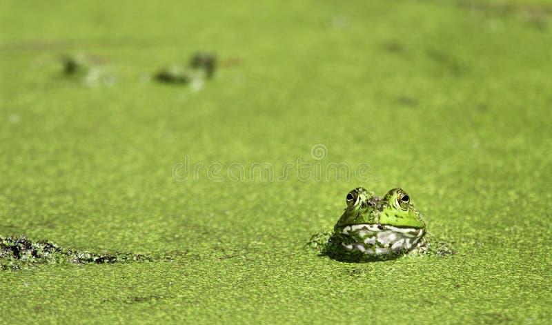 Bullfrog At Brazos Bend Royalty Free Stock Photos