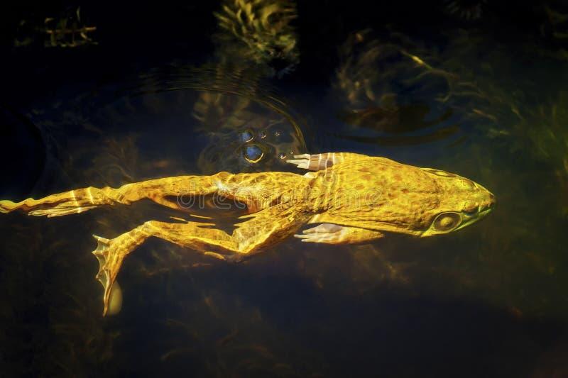 Bullfrog dopłynięcie w stawie obraz royalty free