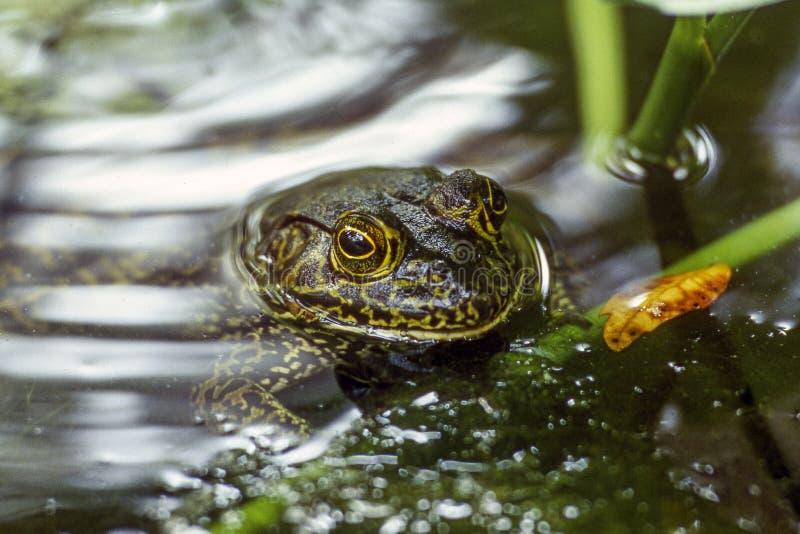 Bullfrog in a Florida Fishpond stock photos