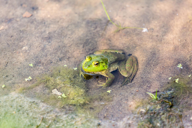 Bullfrog hiding among the reeds. In a slimy swamp stock photos