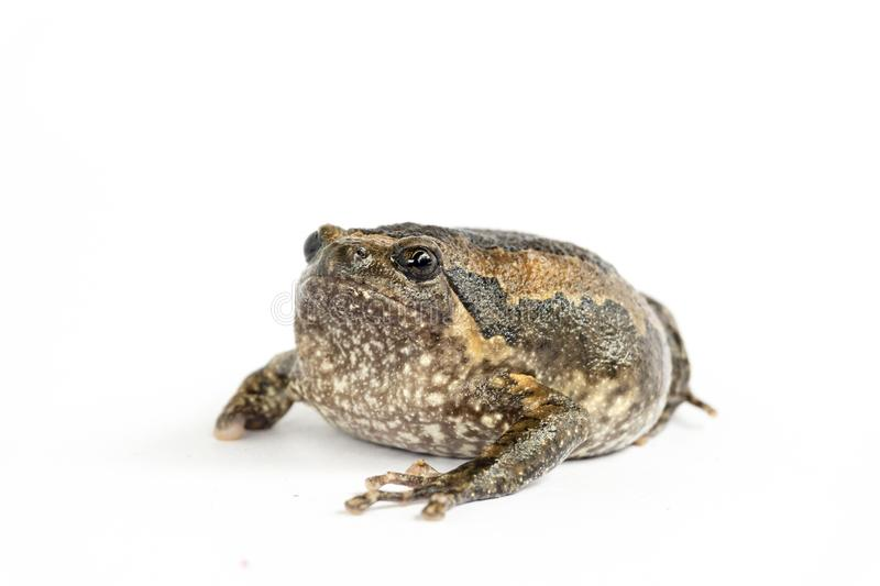 Bullfrog & x28;Kaloula pulchra& x29;  on white background stock image