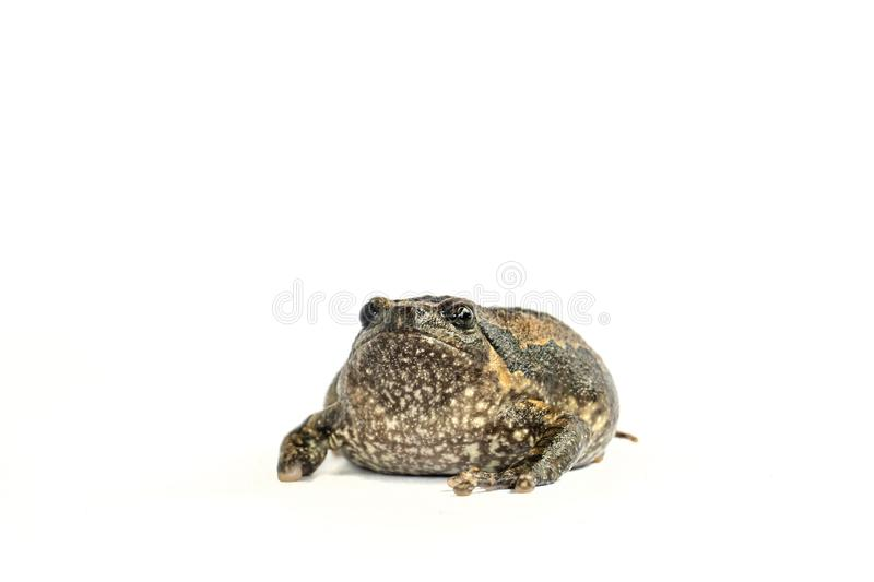 Bullfrog & x28;Kaloula pulchra& x29;  on white background. Inland turtles in Asia are called & x22;Impressed tortoise, Manouria impressa & x22; isolated on stock image