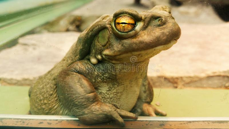 Bullfrog. Macro of a bullfrog leaning on wooden ledge with the distinctive big yellow eyes
