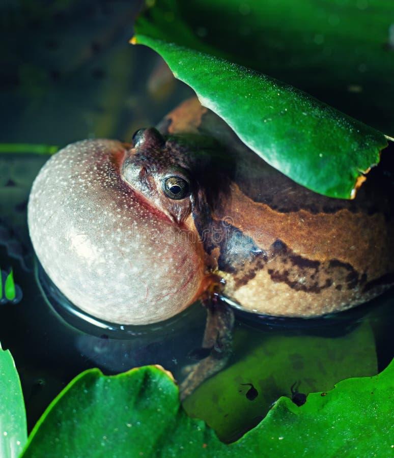 Bullfrog royalty free stock photography