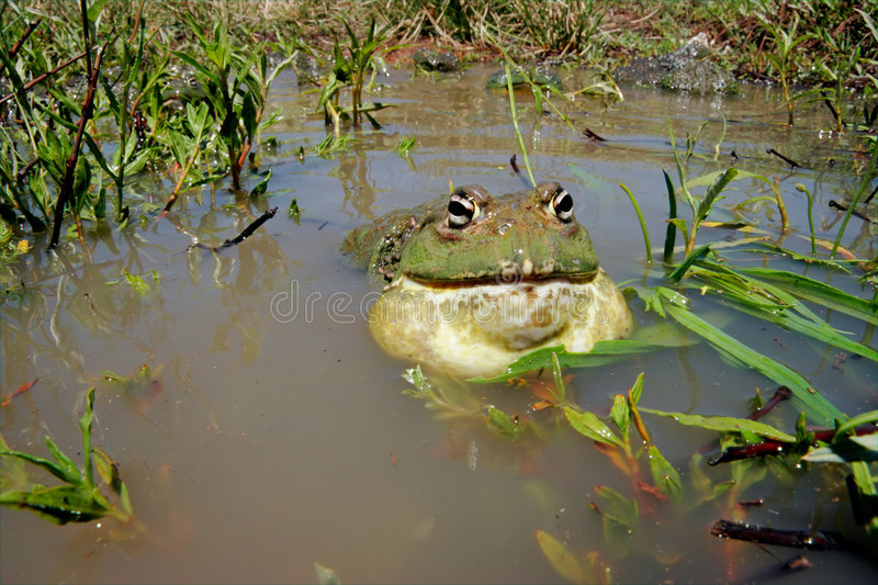 Bullfrog, South Africa stock photography