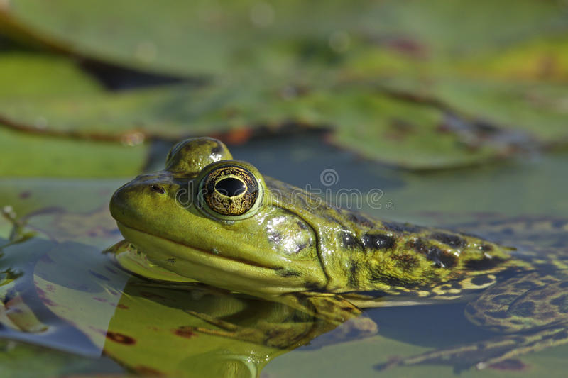 Bullfrog on a Submerged Lily Pad. Female Bullfrog (Lithobates catesbeianus) Partially Submerged on a Lily Pad - Ontario, Canada royalty free stock photography