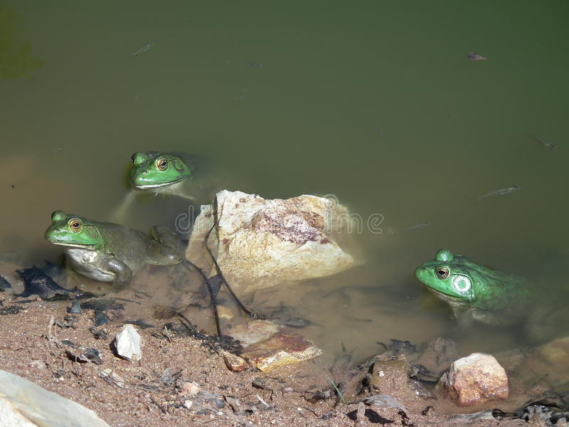 Bullfrogs in their natural setting in the wild stock photography