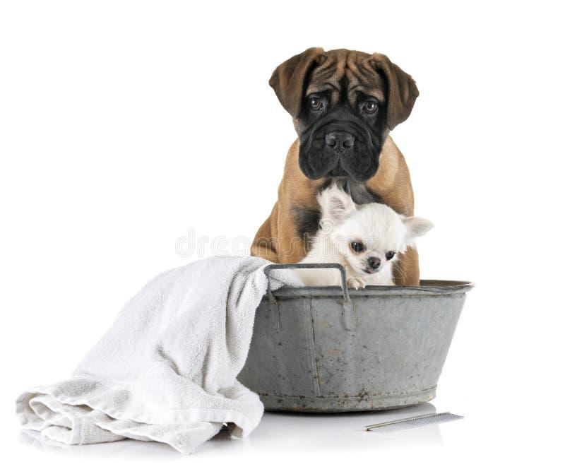 Bullmastiff et chiwawa de chiot dans le bain photo stock