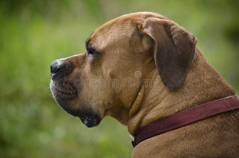 Bullmastiff head shot stock photos