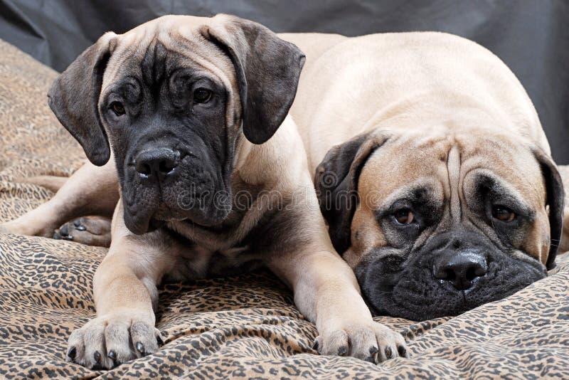 Bullmastiff puppy 84 royalty free stock image