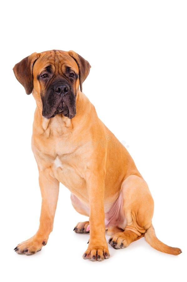 Bullmastiff vermelho do filhote de cachorro foto de stock royalty free