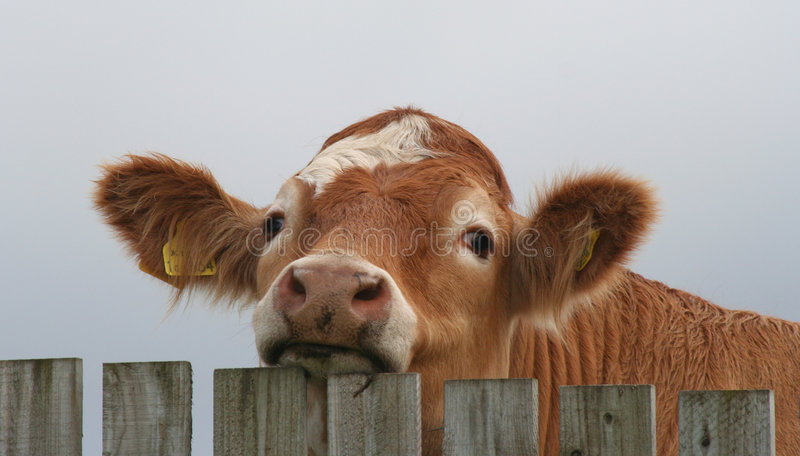 Download Bullock looking over fence stock photo. Image of bull - 7204774