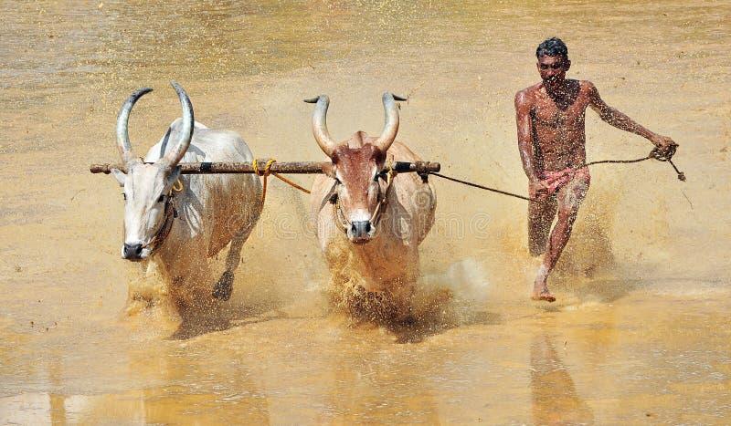 Bullock-Rennen in einem Bauernhofbereich von kakkoor karala stockfotografie