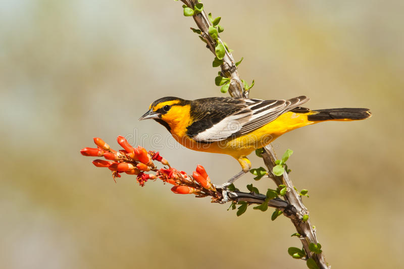 Bullock S Oriole Stock Photo