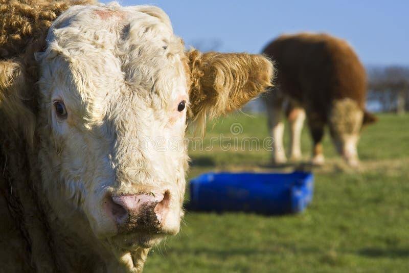 Download Bulls stock photo. Image of cows, bulls, farm, portrait - 6218008