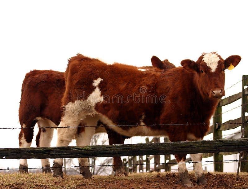 Bulls Stock Photos