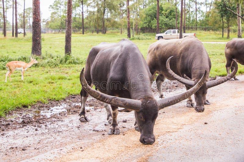 Bulls eating at Lion Country Safari. Loxahatchee, Florida.  August 31, 2018:  Bulls eating at Lion Country Safari royalty free stock photo