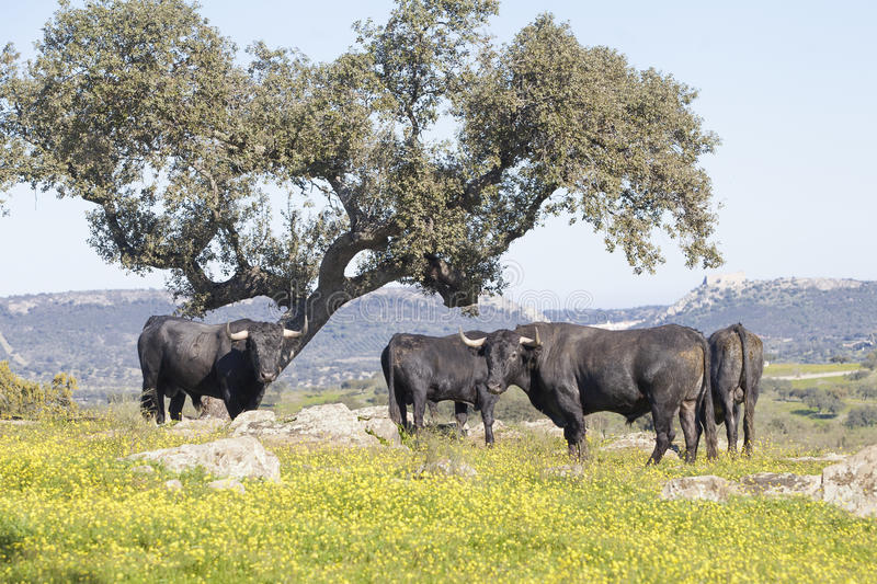 Bulls in a field royalty free stock images