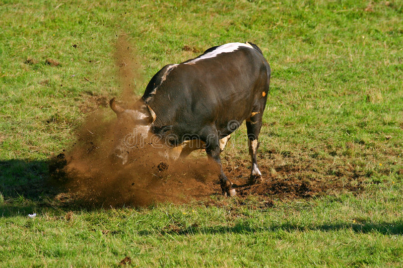 Bulls fighting on a meadow stock photos