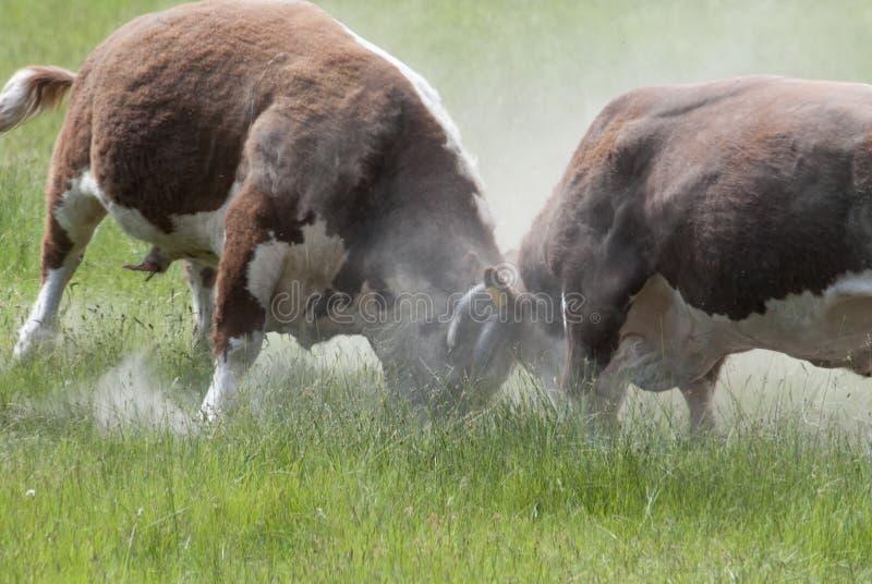 Bulls Fighting stock photos