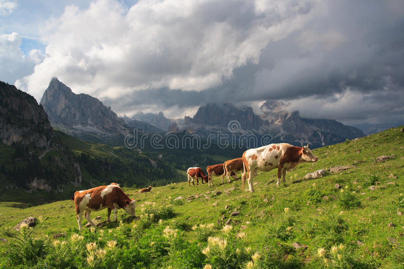 Download Bulls on meadow, Dolomites stock photo. Image of mammal - 26054778
