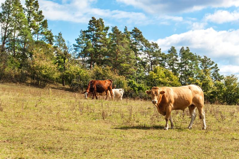 Bulls on a pasture in the Czech Republic. Breeding of domestic cattle. Beef production. Life on a farm royalty free stock photo