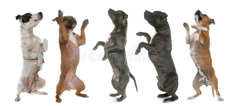 Bulls-terrier du Staffordshire se levant image stock