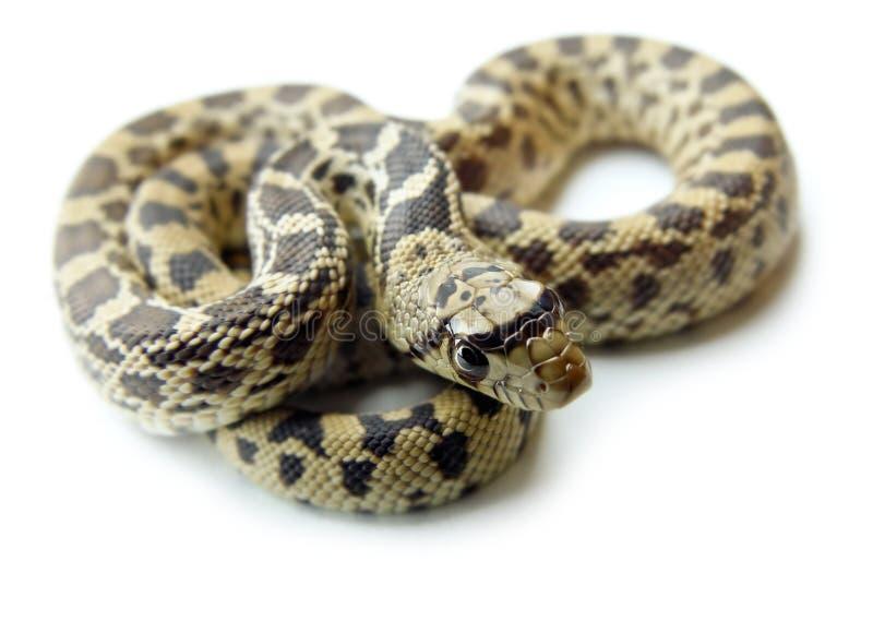 Bullsnake benannte auch Gopher S lizenzfreies stockfoto