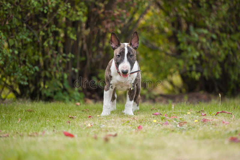 Bullterrier fotografia royalty free
