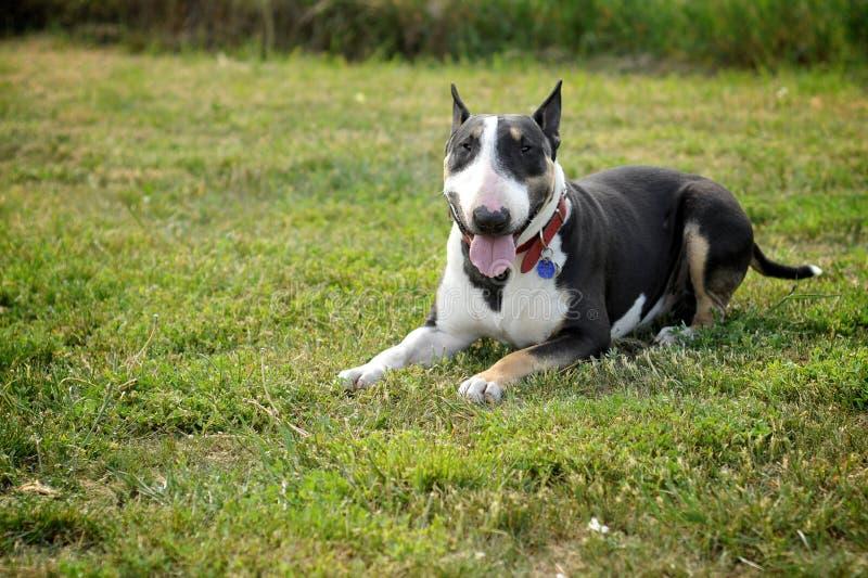 Bullterrier, der auf dem Gras liegt stockfoto