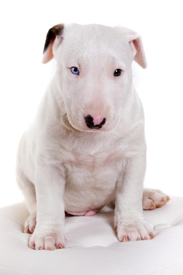 Download Bullterrier puppy portrait stock photo. Image of pedigree - 22321056