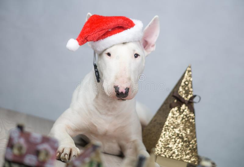 Bullterrierhund mit Sankt-Hut auf Weihnachten lizenzfreies stockfoto
