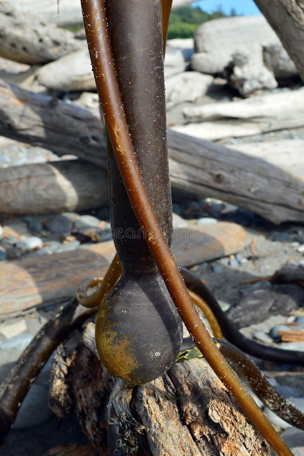 Bullwhip Kelp żarówka obraz stock