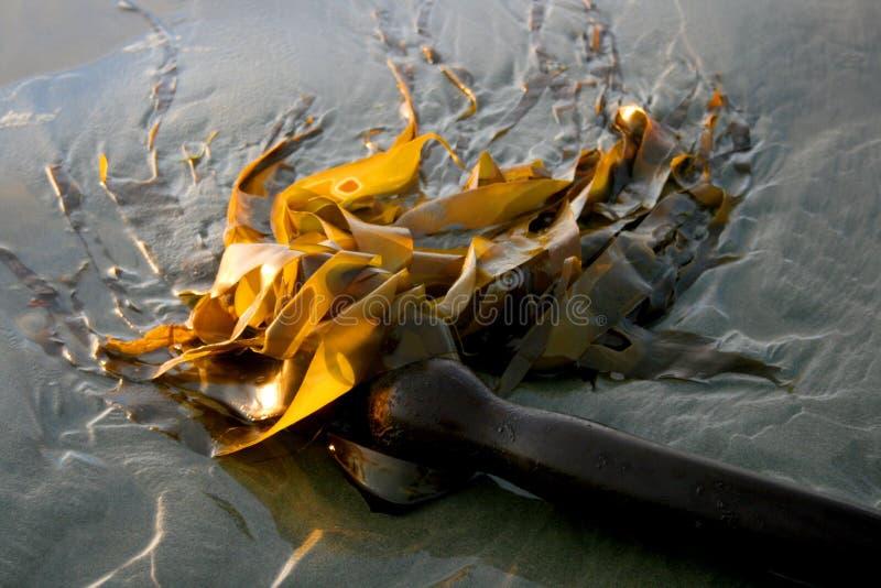 Bullwhip Kelp royalty free stock images