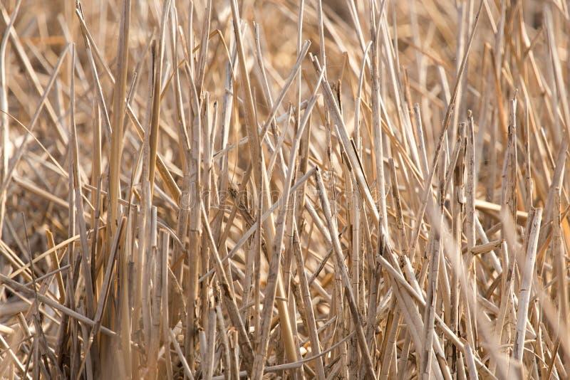 Bulrush υπαίθρια το φθινόπωρο στοκ φωτογραφίες με δικαίωμα ελεύθερης χρήσης