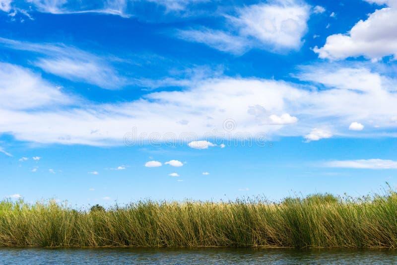 Bulrush в Колорадо под голубым небом стоковое фото rf