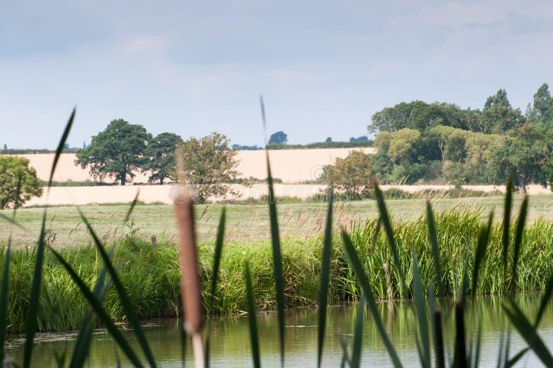 Bulrush и тростники речным берегом стоковые изображения rf