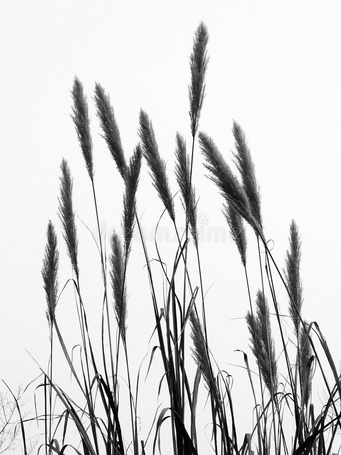 The bulrush. Reed grass in black and white stock photos