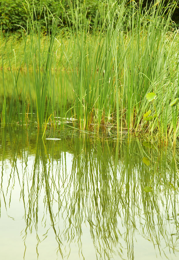 Download Bulrush stock photo. Image of river, calm, seasons, water - 6526672