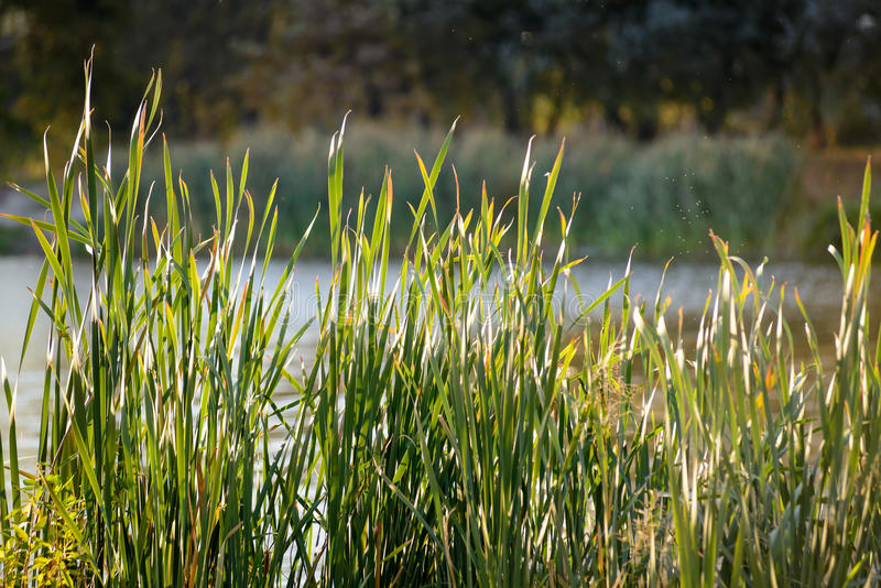 Bulrush in Autumn stock images