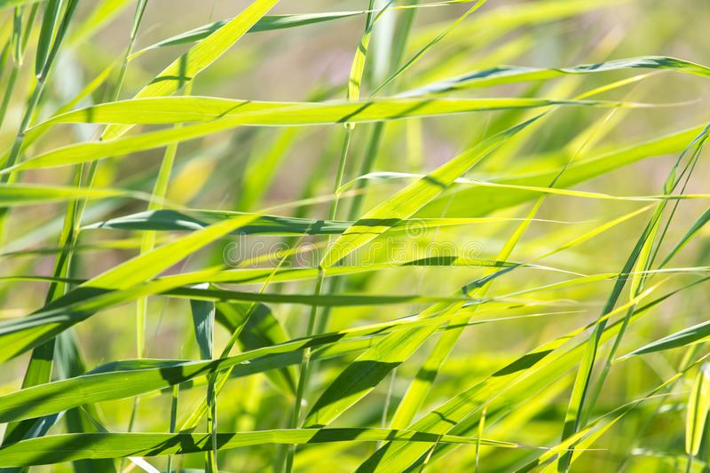 Bulrush in nature as a background. In the park in nature stock photos