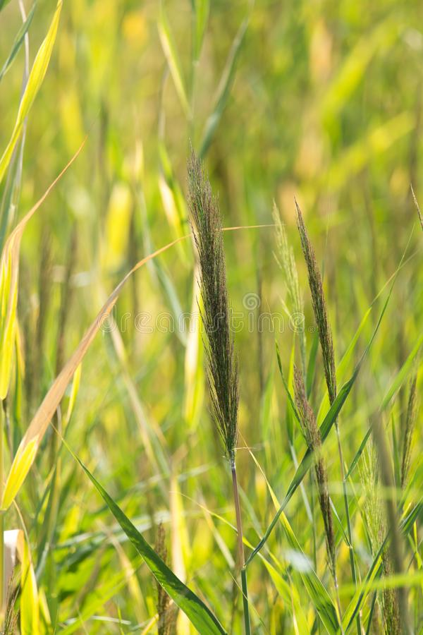 Bulrush in nature as a background. In the park in nature stock photo