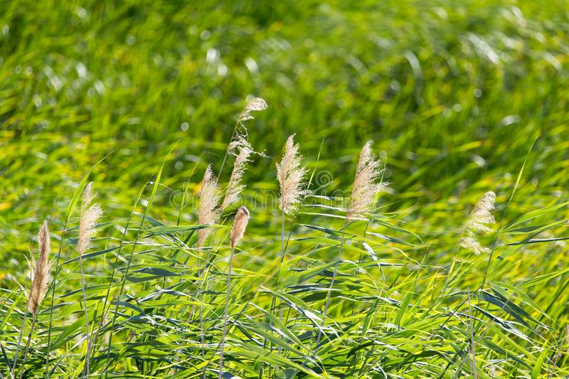Bulrush in nature as a background. In the park in nature royalty free stock photo