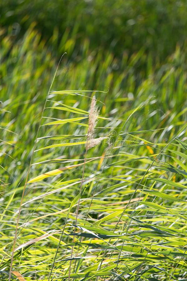 Bulrush in nature as a background. In the park in nature royalty free stock image