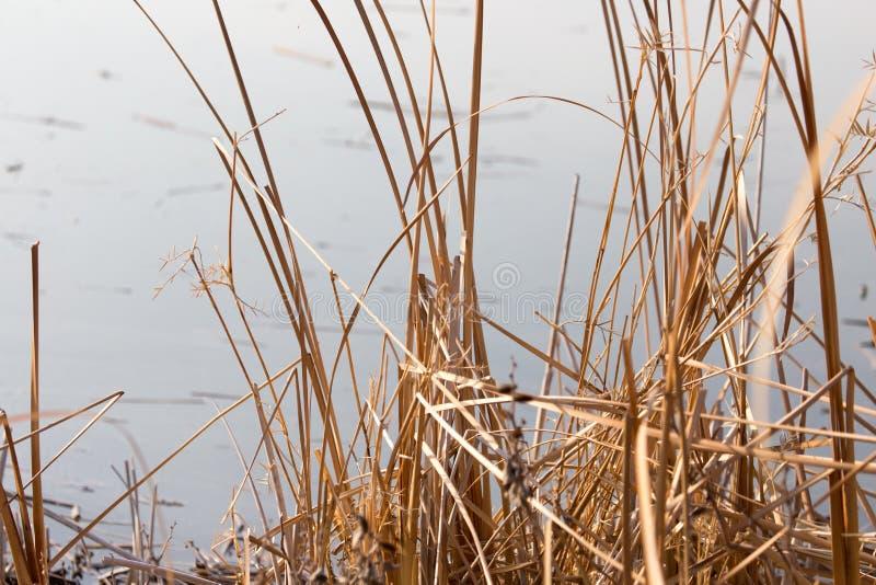 Bulrush outdoors в осени стоковое фото rf